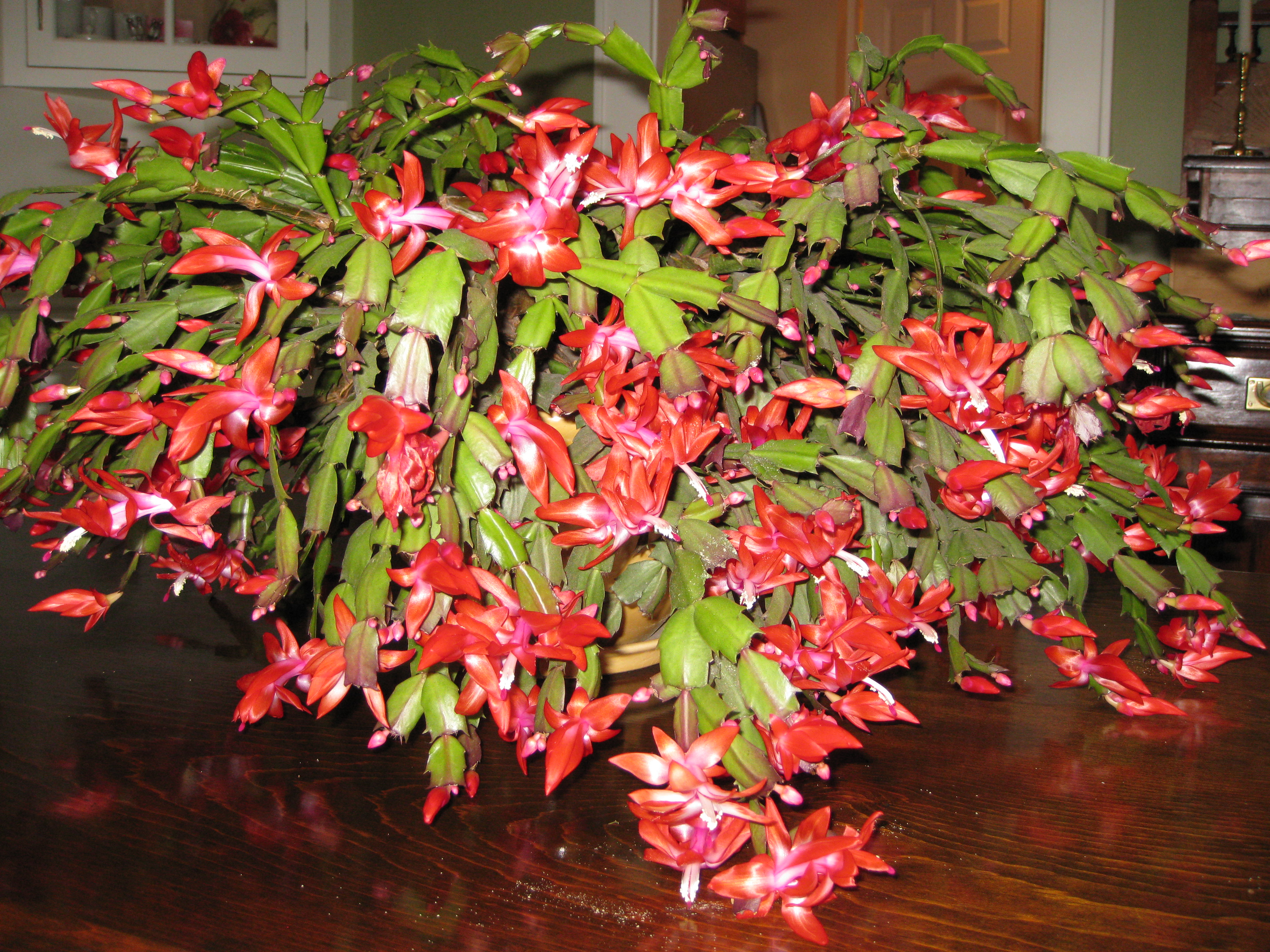 thanksgiving cactus soil